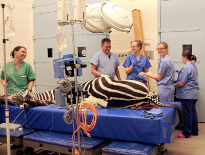 Dr Dean Richardson and nursing team prepare Zippy for surgery.