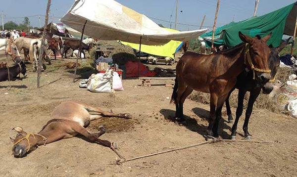 A hobbled mule suffers in the heat at Beri Equine Fair.
