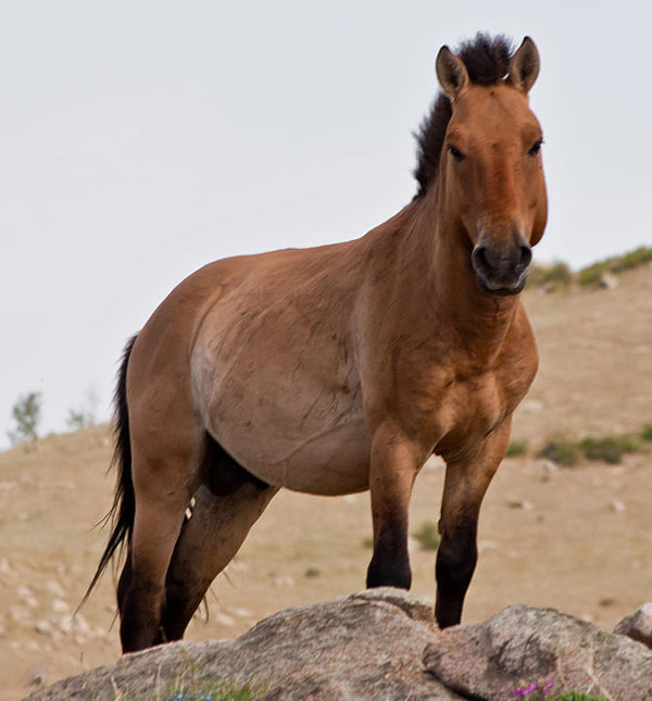 A Przewalski's horse in Khustain Nuruu National Park, Mongolia. Photo: Chinneeb CC BY-SA 3.0/ via Wikipedia