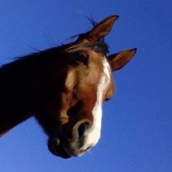 Lack of attentiveness in horses linked by researchers to back pain
