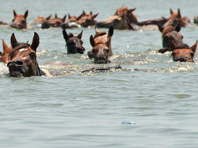 Chincoteague-swim-featured