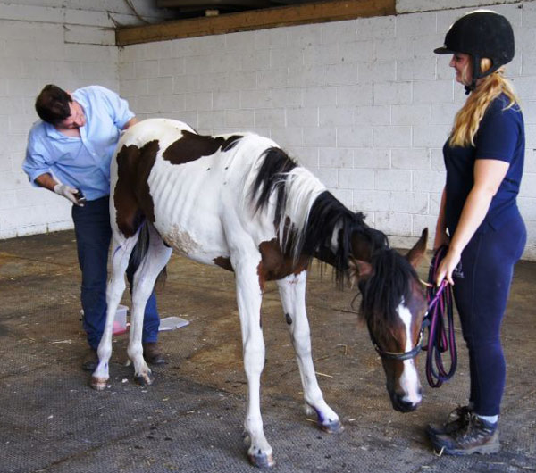 A veterinarian treat's Jack's wounds. Photos: HorseWorld