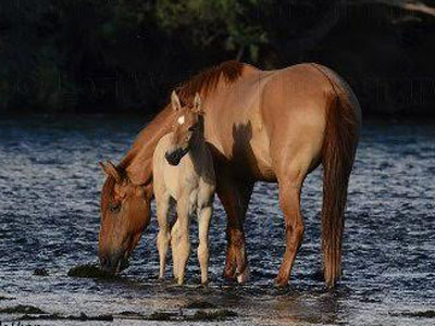 salt-river-horses-featured