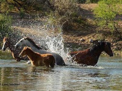 salt-river-horses-featured