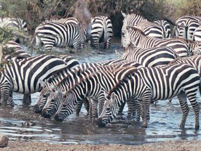 zebras-serengeti-featured