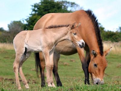 Przewalskis-foal-Port-Lympne400