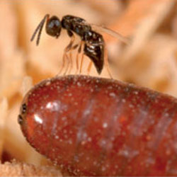 parasitic-wasp-featured