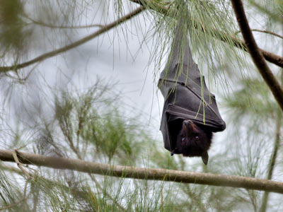 Black-Flying-Fox-featured
