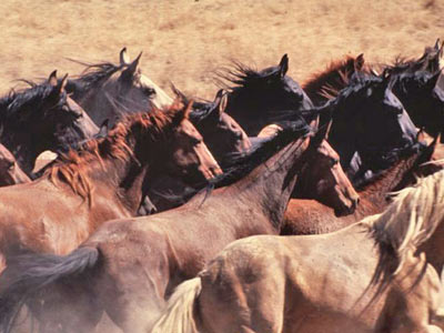 Federal wild-horse management strategy under mounting pressure - Horsetalk.co.nz
