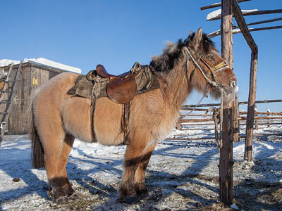 Yakutian-horse-featured