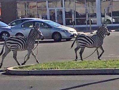 zebras-philadelphia