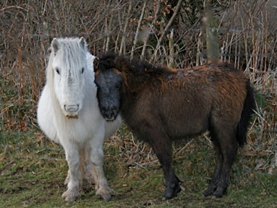dartmoor-pony400