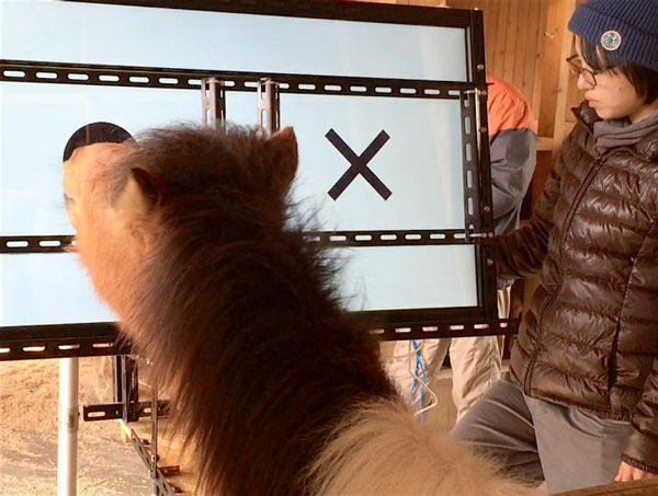 Researchers conduct a test in which the pony is rewarded with a piece of carrot when he chooses the circle, as opposed to the cross.
