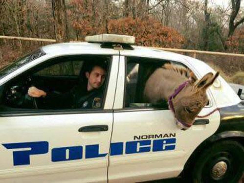police-car-donkeyjpg