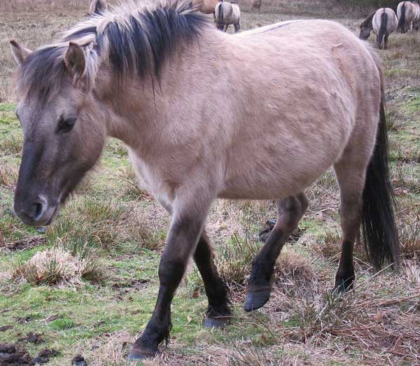 A Konik hrose. Photo: Alethe CC BY-SA 3.0 via Wikimedia Commons