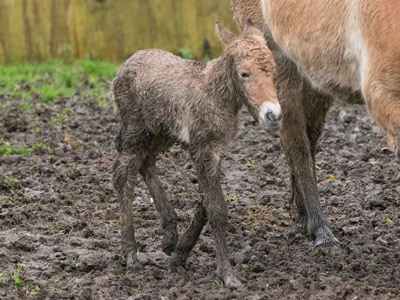Port Lympne's new Przewalski's horse foal, who was born last month.