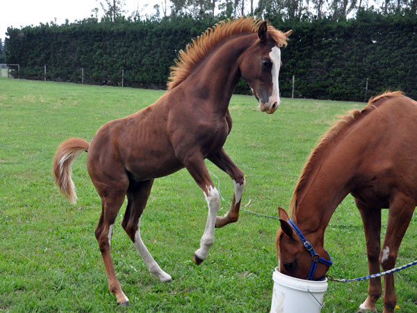 stock-foal-feed-rear_5898
