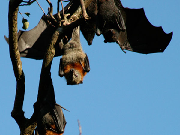Australian black flying-fox bats. Photo: CSIRO