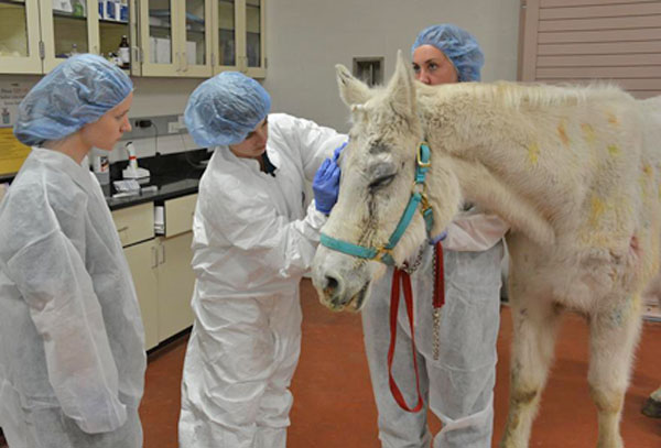 Dr Nikki Scherrer operates on Lily. The surgery took about an hour.