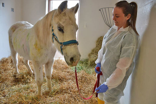 Megan Cassidy, patient care technician, with Lily just before the eye surgery, in Lily's stall at New Bolton Center's Moran Critical Care Center.