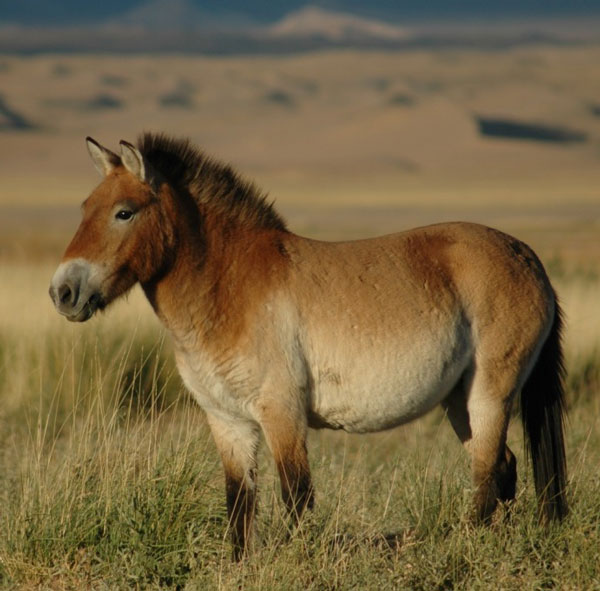 Przewalski S Horses Return To The Steppes Of Russia