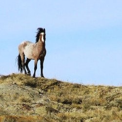 Study in North Dakota explores fertility control in mustangs