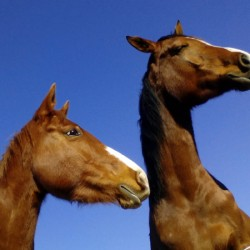 "Notion of ""crazy"" chestnut horses dismissed by researchers"