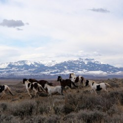 Why the sterilization of Oregon's wild horses is a bad idea