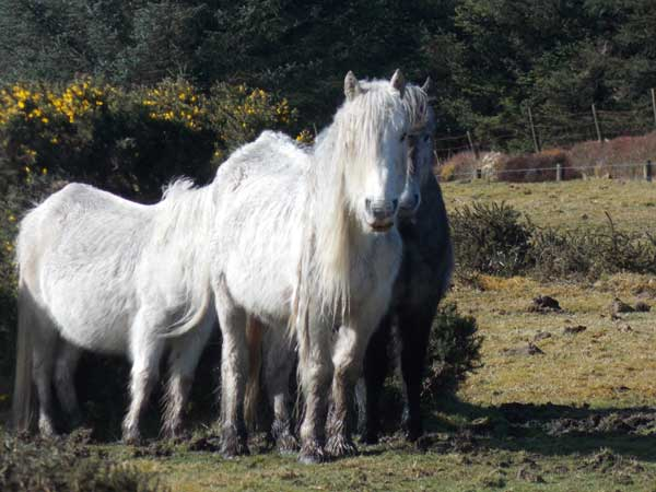 Bodmin-ponies-group