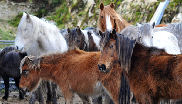 A multi-agency operation last week has resulted in 22 Bodmin Moor ponies being placed with rescue groups. Photo: Redwings