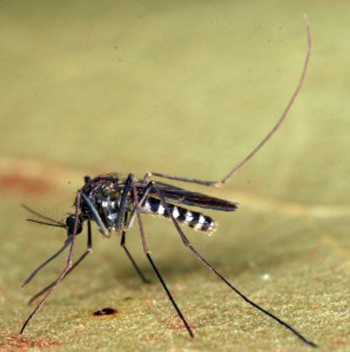 Culex erraticus, pictured, is more abundant than Culiseta melanura, according to a new study co-authored by insect specialist Nathan Burkett-Cadena. It may therefore be more important than scientists originally thought in transmitting Eastern Equine Encephalitis virus, at least in the southeastern United States. Photo: Nathan Burkett-Cadena/University of Florida's Institute of Food and Agricultural Sciences