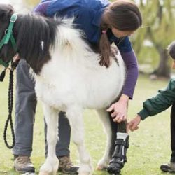 Little Shine steps out on his new artificial hoof