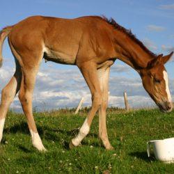 AI, ET, among hot topics at Aust horse breeding expo