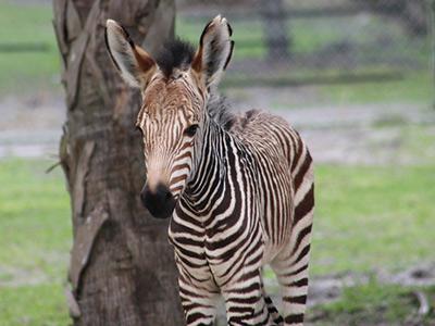 grevys-zebra-zach-400