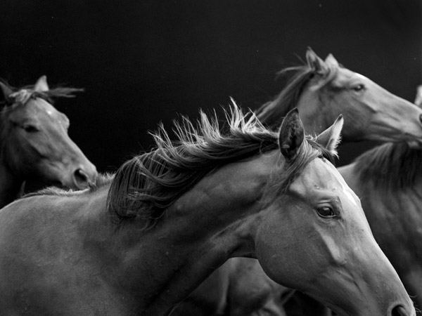 Neil Latham's American Thoroughbred #16 (Fillies) , 2014 Gelatin silver print, printed 2016 50 x 60 in.