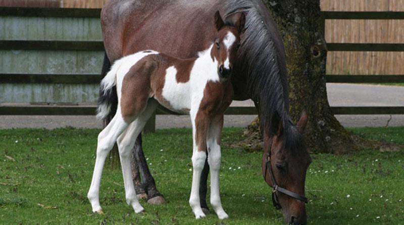 800-445Cinders-foal