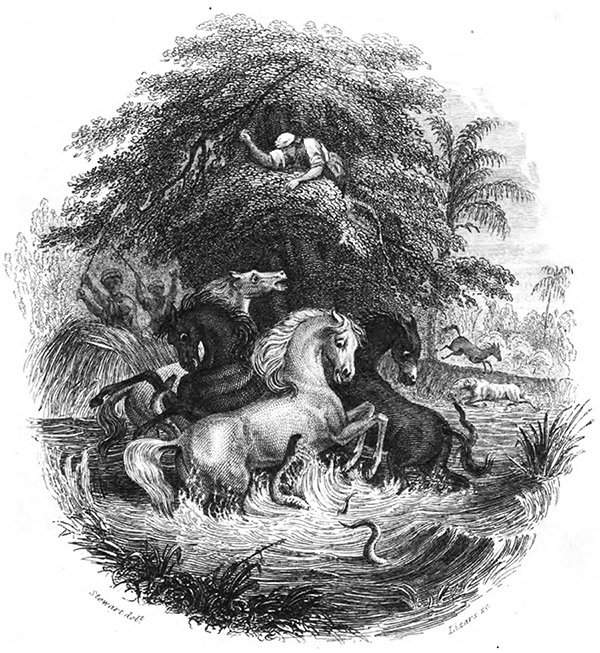 An illustration of electric eels attacking horses, as observed by explorer Alexander von Humboldt.