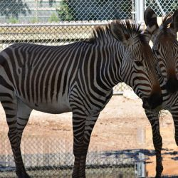 Rare zebras make trek from Texas for new zoo display