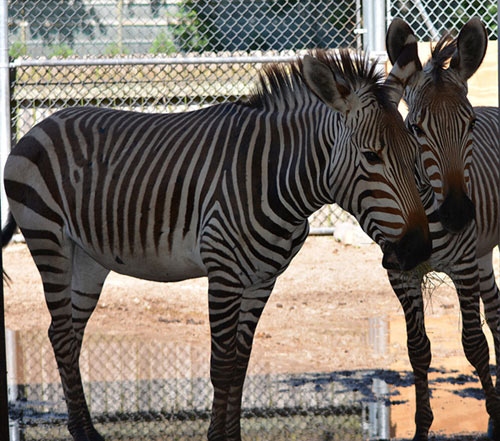 The Hartmann's Mountain Zebra colts will be on show at Racine Zoo from July 1.