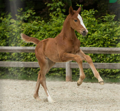 Queen Vegas van't Merelsnest, who was bought by Greg Broderick and Andrew Hughes for €27,000 at theFlanders Foal Auction. © Paardenfotograaf