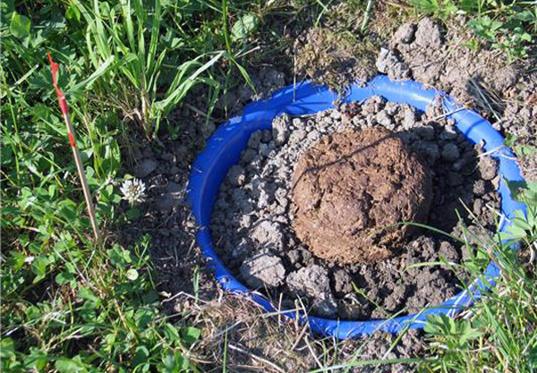 Dung pats with specific concentrations of ivermectin were used in the experiment. Photo: University of Zurich
