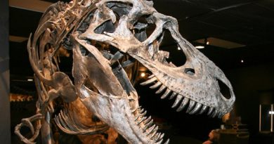 A Gorgosaurus at the Houston Museum of Natural Science Photo: Ed Schipul CC BY 2.0 via Wikimedia Commons