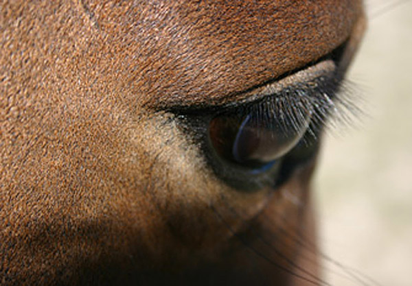 The eyes have it. Researchers in Australia have been examining eye problems among older horses.