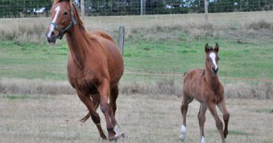 Neonatal isoerythrolysis (NI) - also known as jaundice foal syndrome and hemolytic disease of the newborn - is caused by an incompatibility of blood types between a mare and her foal.