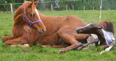 mare-foaling-600x417