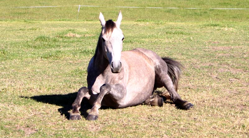Read more: http://horsetalk.co.nz/health/181-dailyhorsechecks.shtml#ixzz4EhdiuG5d Reuse: Interested in sharing with your readers? You are welcome to use three or four paragraphs, with a link back to the article on Horsetalk. Follow us: @HorsetalkNZ on Twitter | Horsetalk on Facebook Detecting when a horse is behaving normally or not can be the difference between life and death.