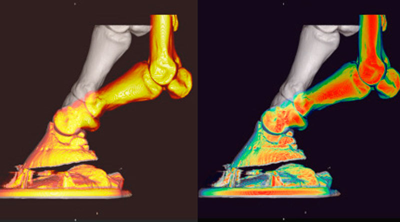 Computed tomography images showing hoof deformation with a packer in the unloaded (grey) and the foot simulating trot (orange) as seen from behind (left) and the side (right)