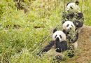 Bamboo – good for pandas and music, but not for horses