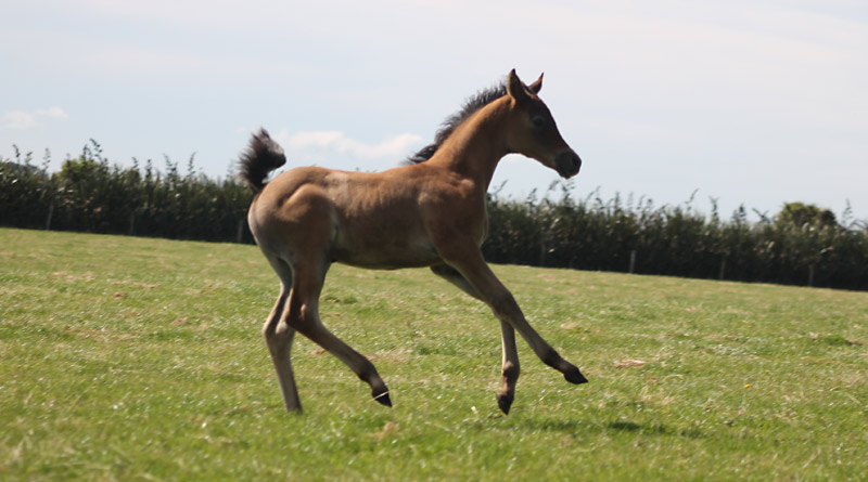 foal-canter-stock-800-445