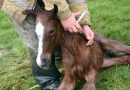 Boosting those babies: the what and when of foal vaccination